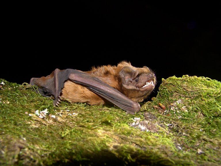morcego-arborícola-gigante (Nyctalus lasiopterus) ©Paulo Barros