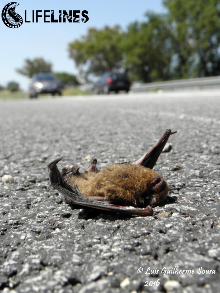 Morcego (Pipistrellus sp.) atropelado. Foto: Luis Guilherme Sousa
