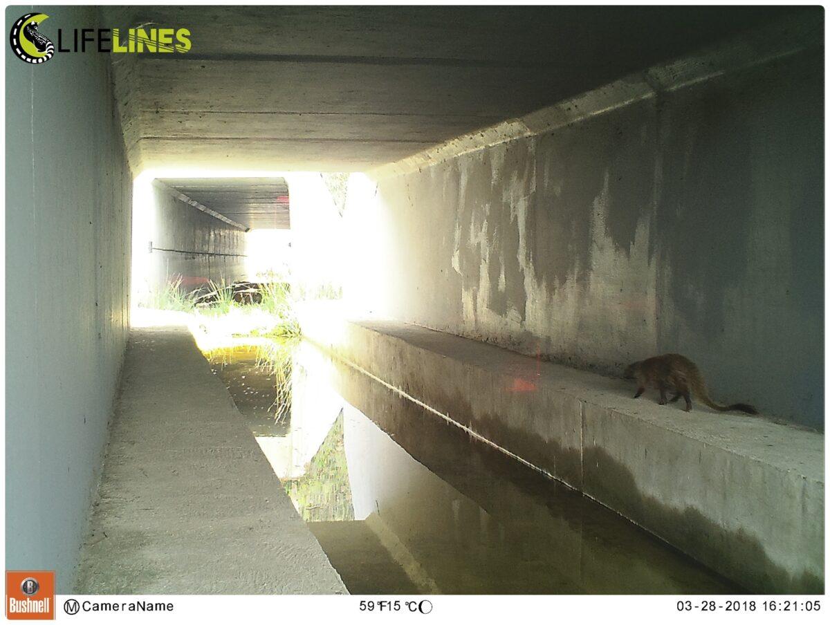 Registo de atravessamento de um sacarrabos (Herpestes ichneumon) através de um dos passadiços construídos, após inundação da passagem hidráulica. Foto: LIFE LINES